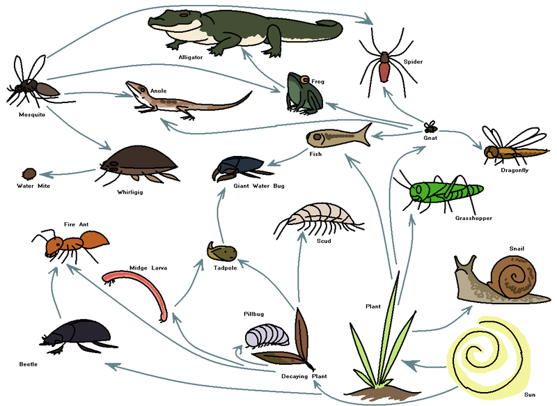 how to draw a wetland food web